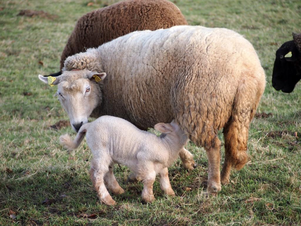 Mama-mit-Lamm-weiß