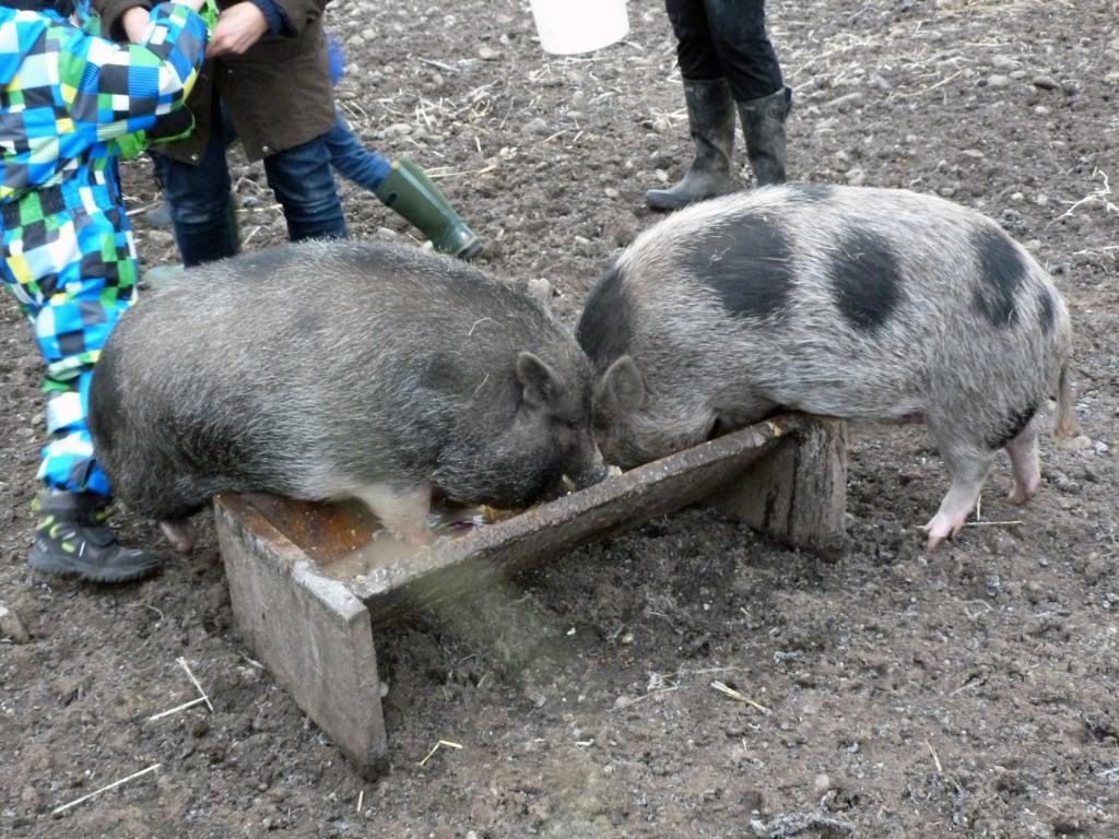 Schweine_füttern